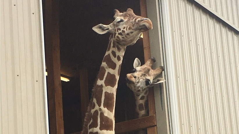 4 Marketing Lessons Entrepreneurs Can Learn From April the Giraffe