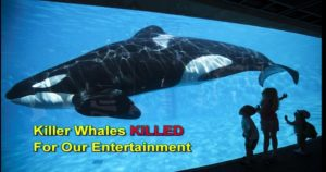 Killer Whales killed for entertainment at sea parks around the world