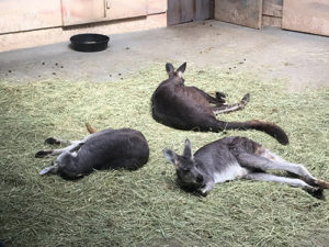Kanagroos at the zoo