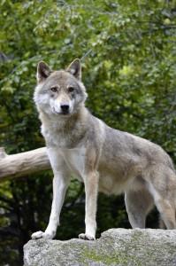 wolf-1329388_1280