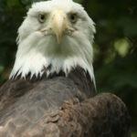 eagle-1310607
