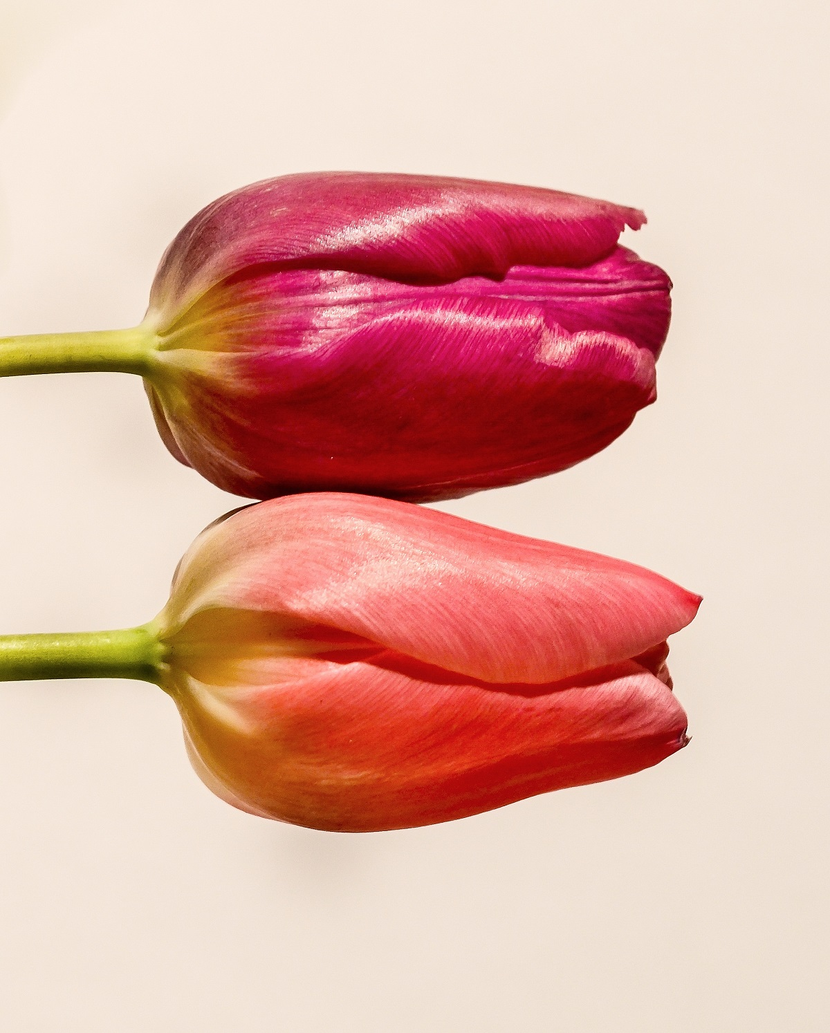tulips-free-license-cc0